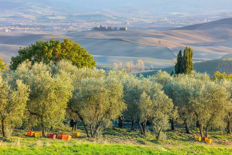 Плантация оливковых дерев во времени сбора, аграрном landscap стоковая фотография