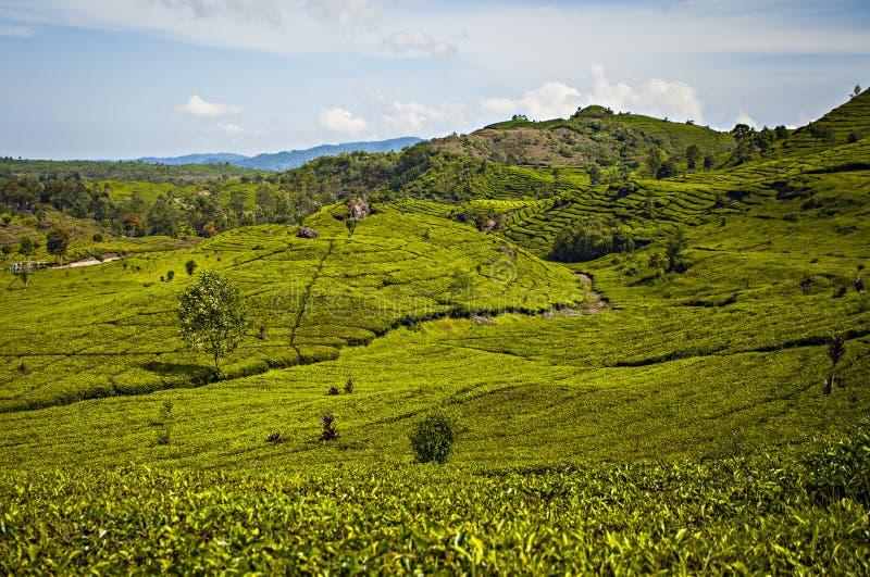 Плантация чая взгляда, Sinumbra, Ciwidey, Бандунг, западная Ява стоковые изображения