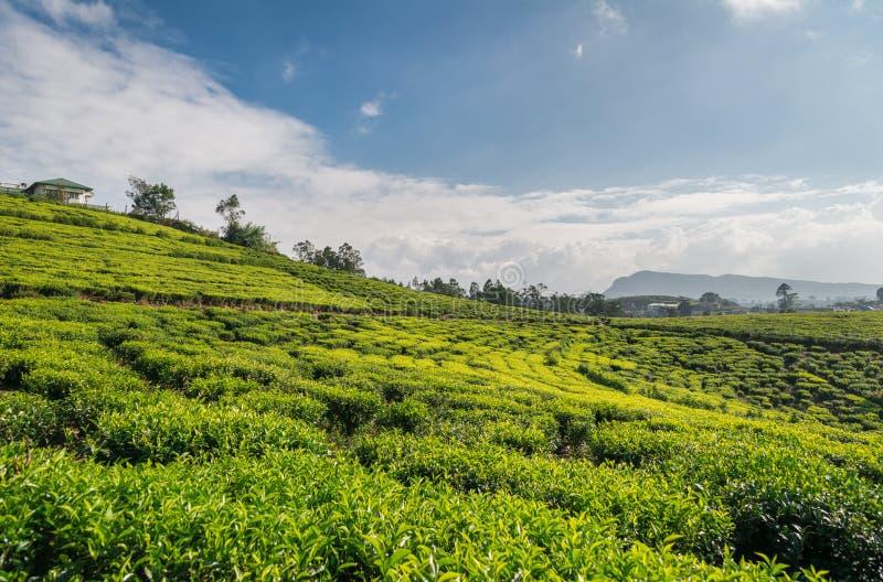 Плантация чая в Азии стоковая фотография