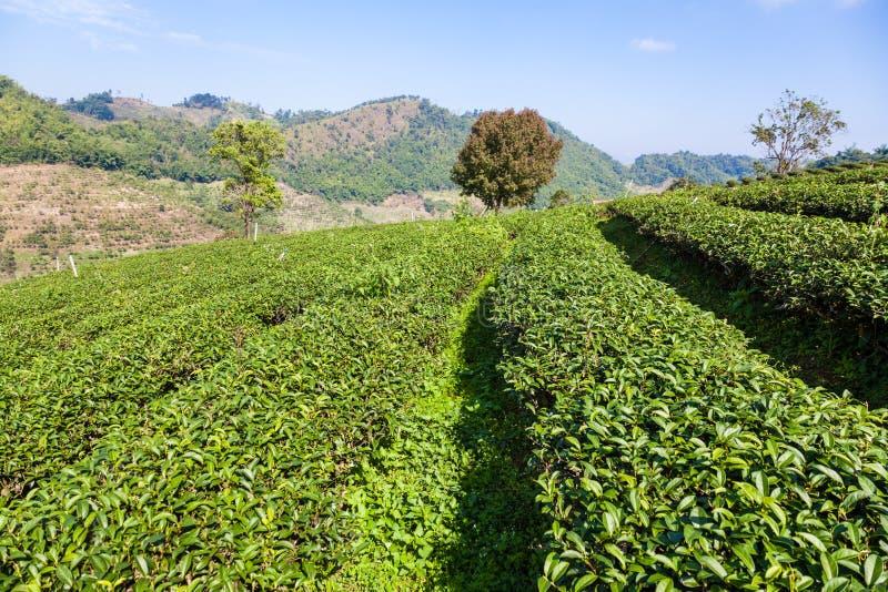 Плантация чая в Mae Salong, Таиланде стоковая фотография rf