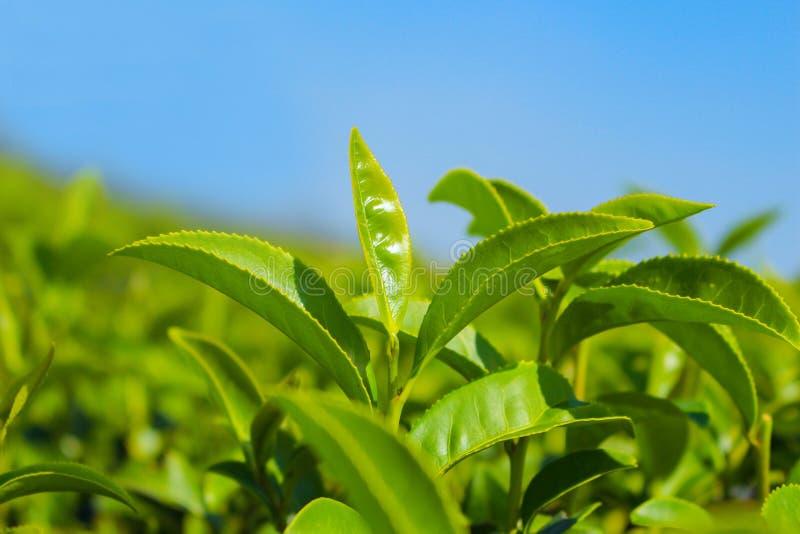 Плантация чая стоковое изображение rf