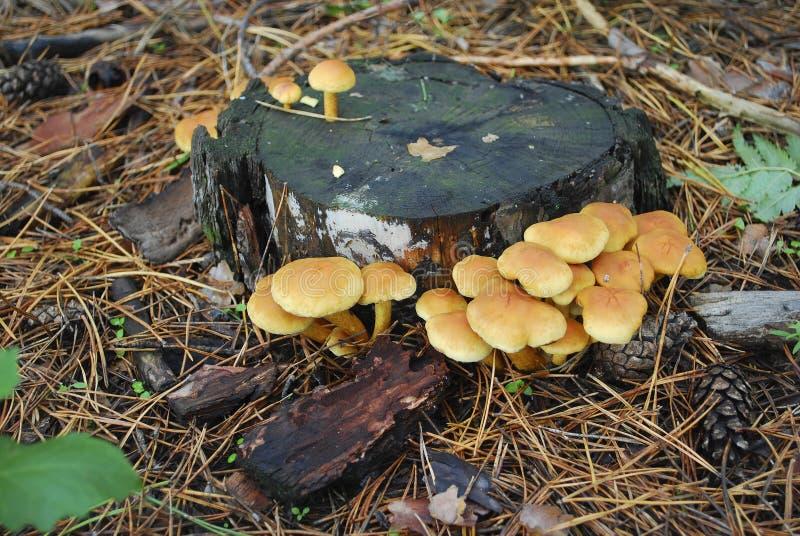 Пластинчатые грибы меда семьи ложные стоковая фотография