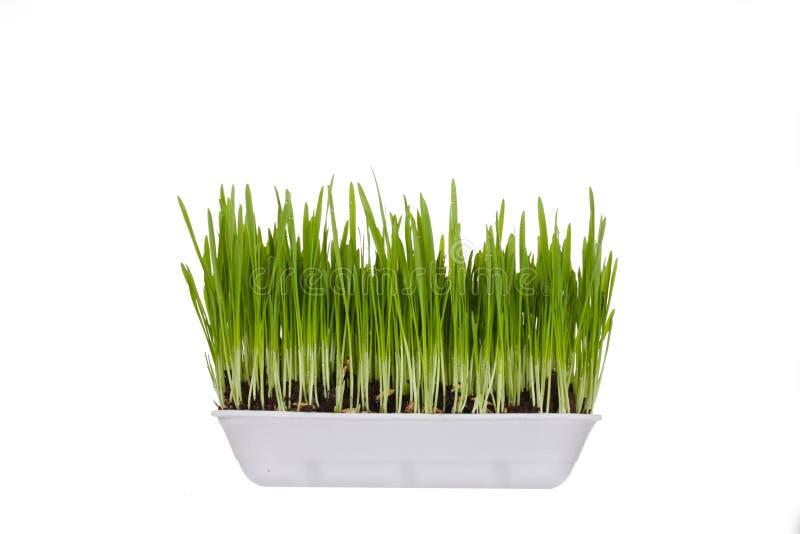 Пластмасовый контейнер с молодыми зелеными ростками стоковые изображения rf