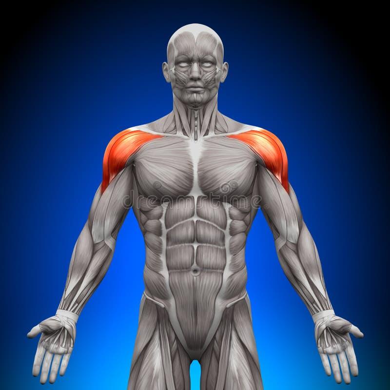 Плечи/дельтоид - мышцы анатомии иллюстрация штока