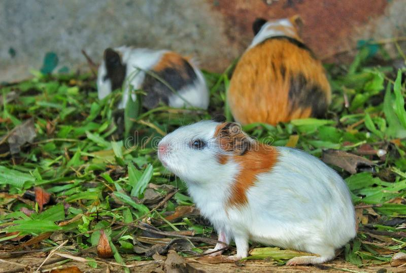 плечо 6587 морских свинок стоковое фото