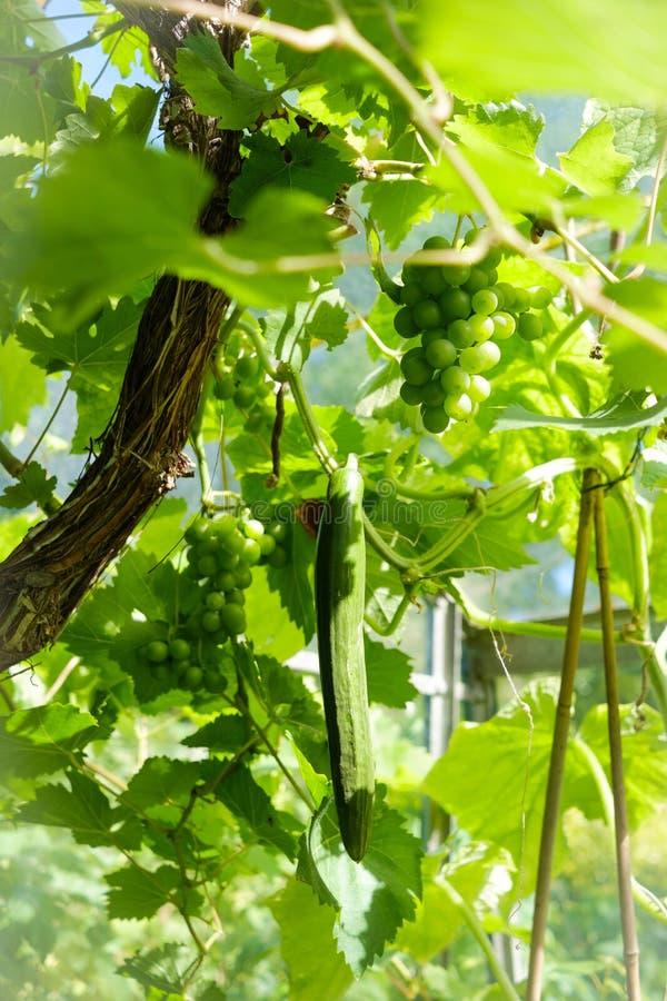 Плотный зеленый куст лозы при сочные виноградины вися с зеленым courgette стоковые фото