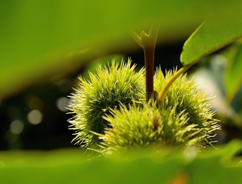 Плодоовощи зеленого цвета покрытые позвоночников каштана стоковая фотография rf