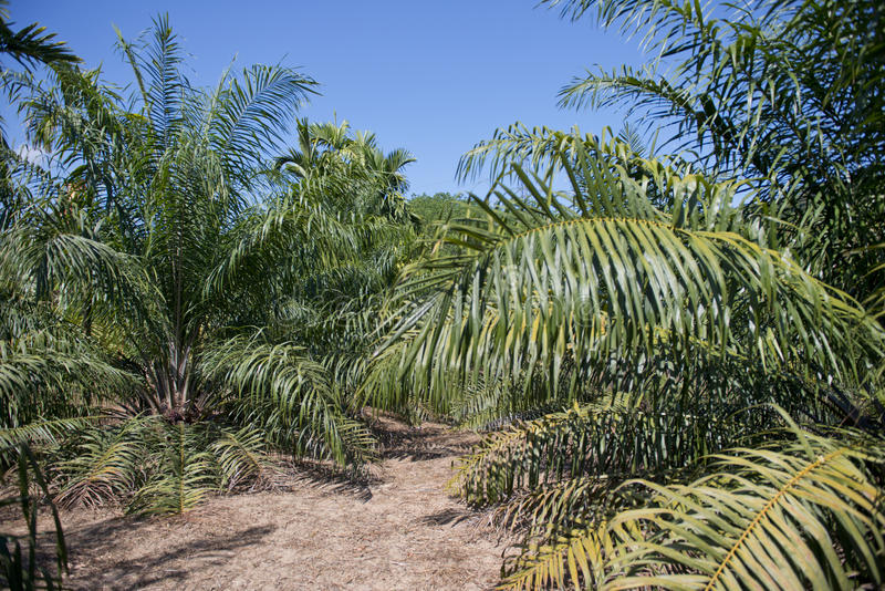 Плодоовощи пальмового масла на дереве стоковое фото rf