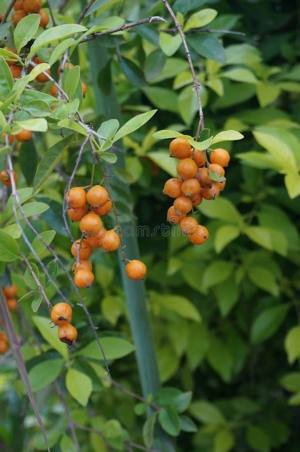 Плодоовощи Duranta или оранжевые ягоды стоковая фотография rf