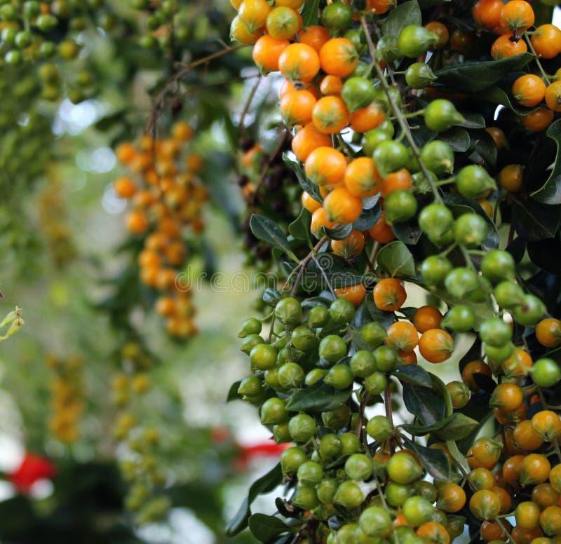Плодоовощи Guaramiranga стоковые изображения rf