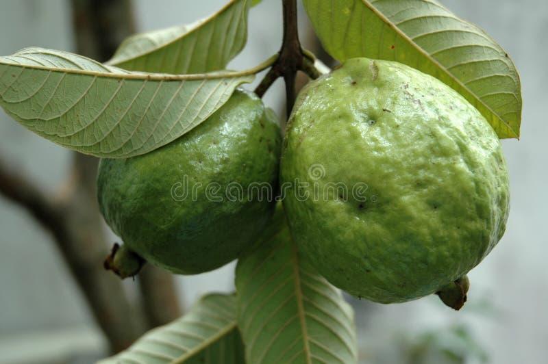 Плодоовощи Guava на дереве стоковое изображение