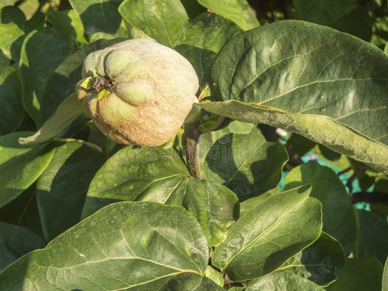 Плодоовощ айвы на дереве стоковые изображения