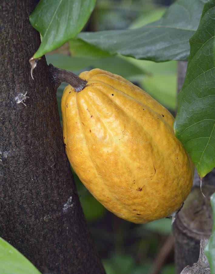 Плодоовощ дерева какао стоковое фото