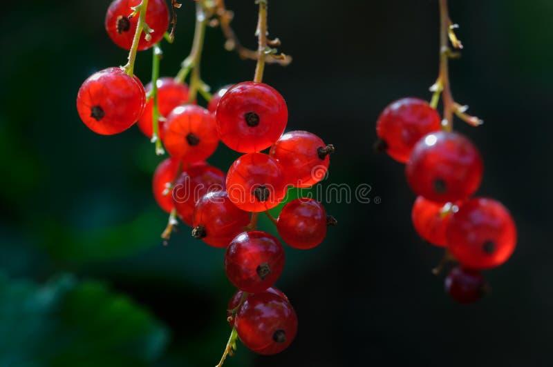 Плодоовощ красной смородины на кустарнике стоковое изображение rf