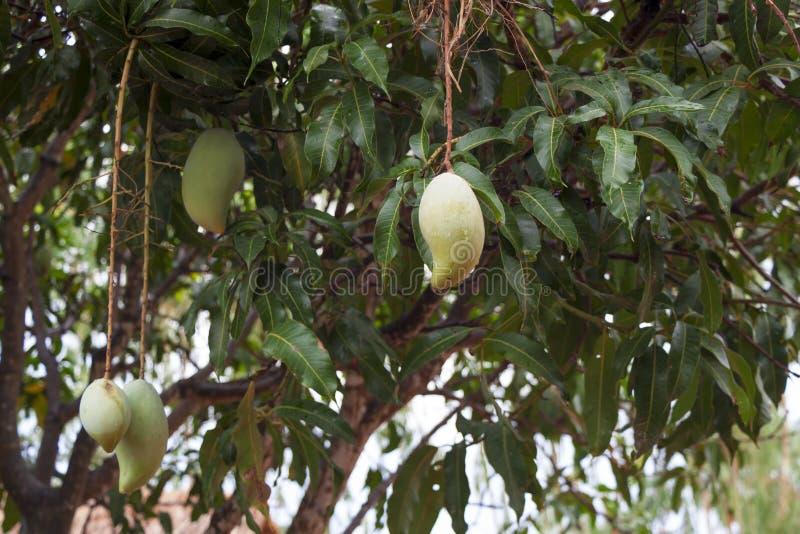 Плодоовощ манго кислый стоковая фотография