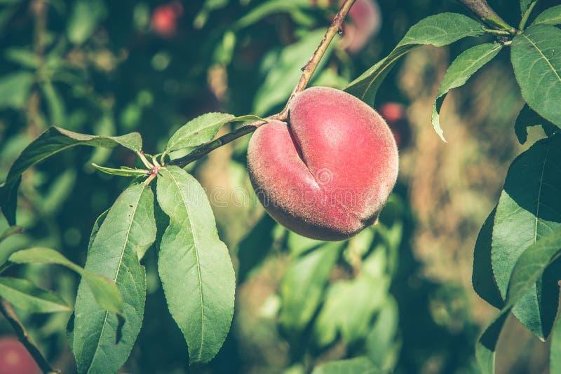 Плодоовощ персика на ветви стоковая фотография rf