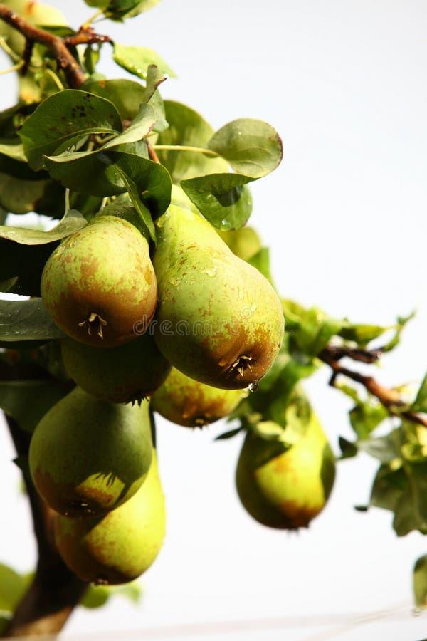 Download Плодоовощ природы в ветви дерева Стоковое Изображение - изображение насчитывающей ново, груши: 33735405