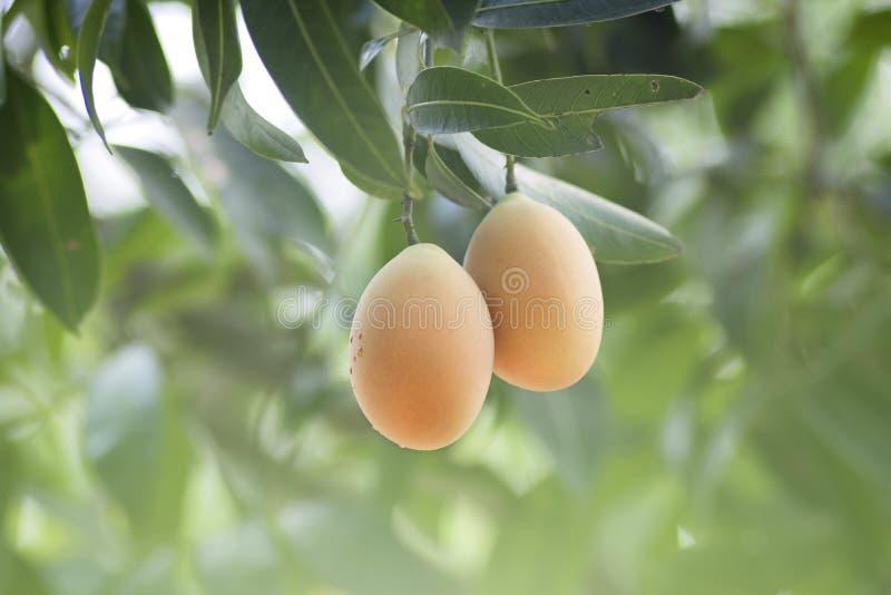 Плодоовощ Юго-Восточной Азии плодоовощ Plango или сливы Мэриан тропический на tre стоковая фотография