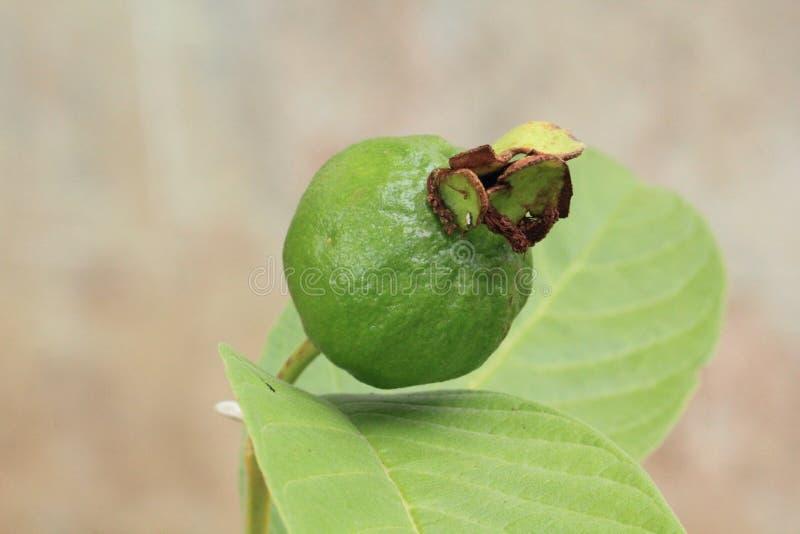 Плодоовощ Guava стоковые фото