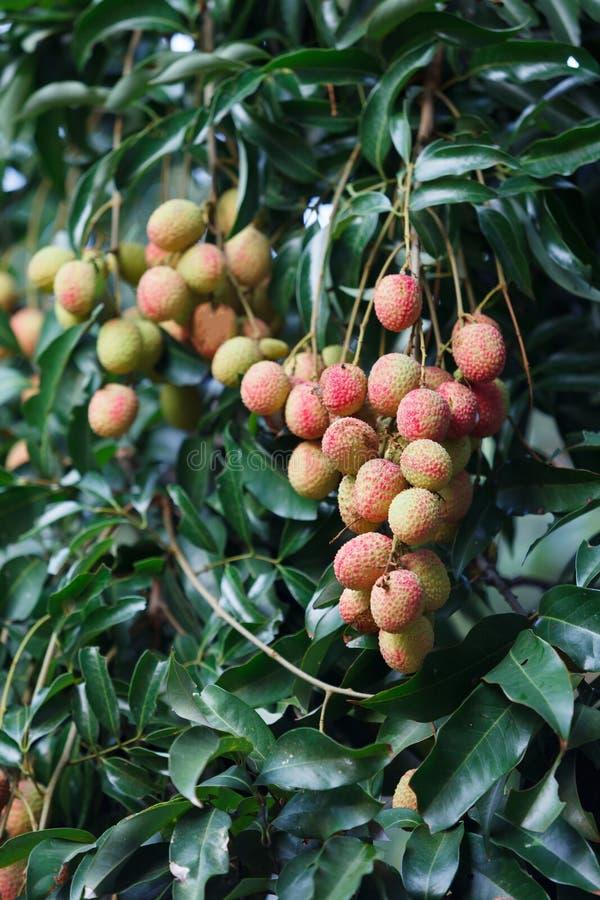 Плодоовощ Lychee на дереве стоковые фото