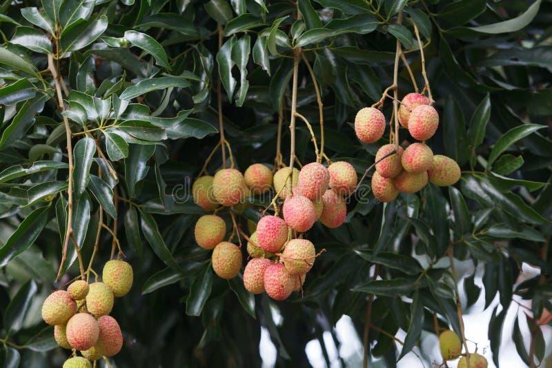 Плодоовощ Lychee на дереве стоковые изображения