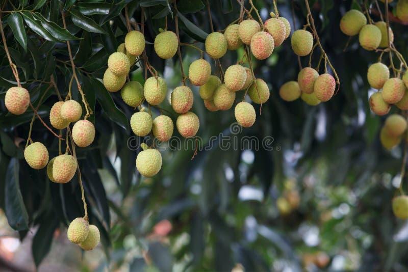 Плодоовощ Lychee стоковое фото