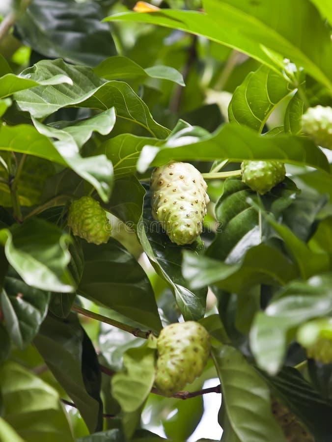 Плодоовощ Noni (citrifolia Morinda) на дереве стоковая фотография rf