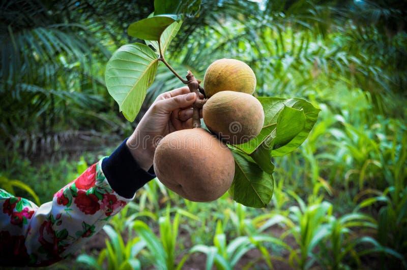 Плодоовощ Santol в руке стоковое фото rf