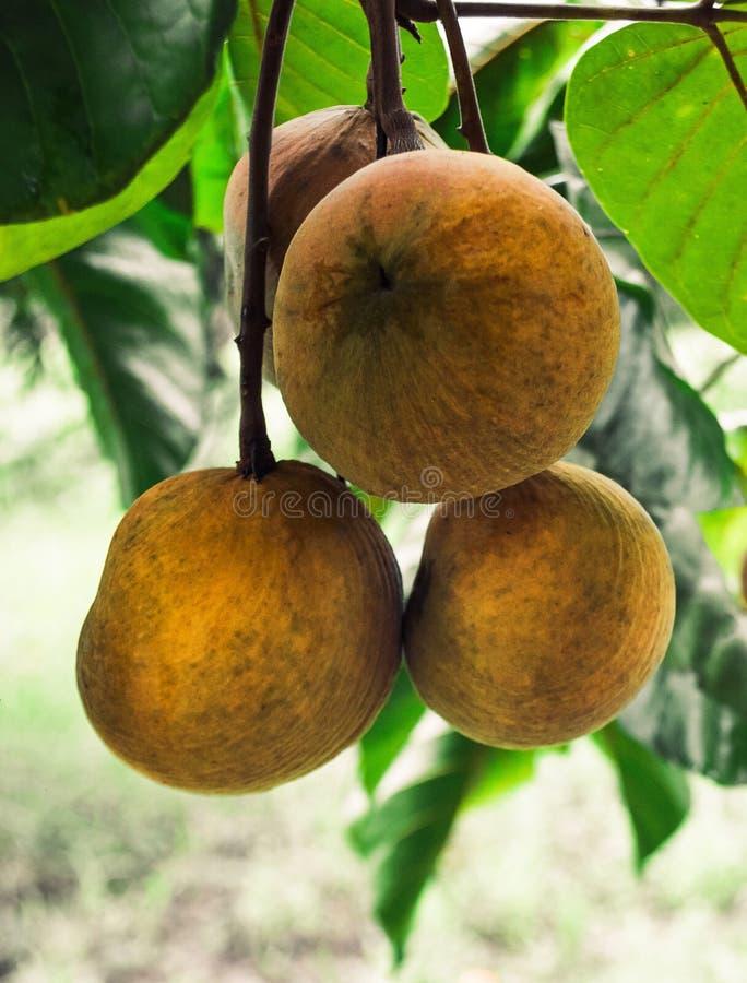 Плодоовощ Santol стоковая фотография