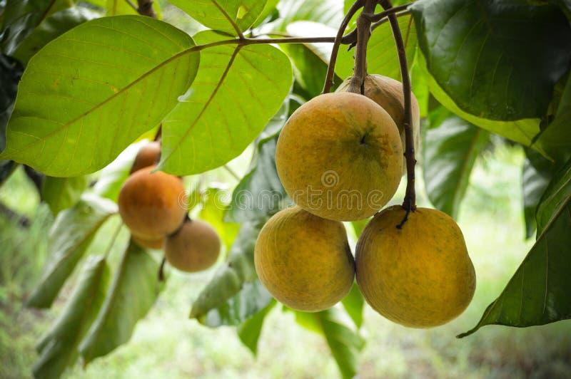 Плодоовощ Santol стоковая фотография rf