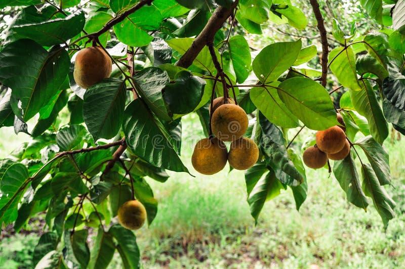 Плодоовощ Santol стоковые фото