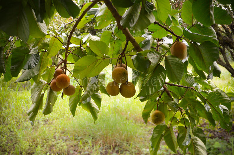 Плодоовощ Santol стоковое фото rf