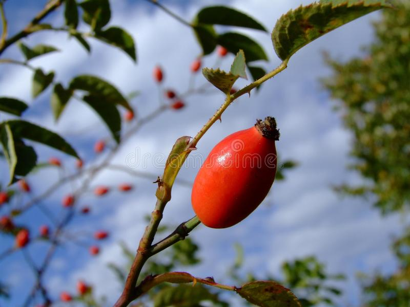 Плод шиповника стоковое фото rf