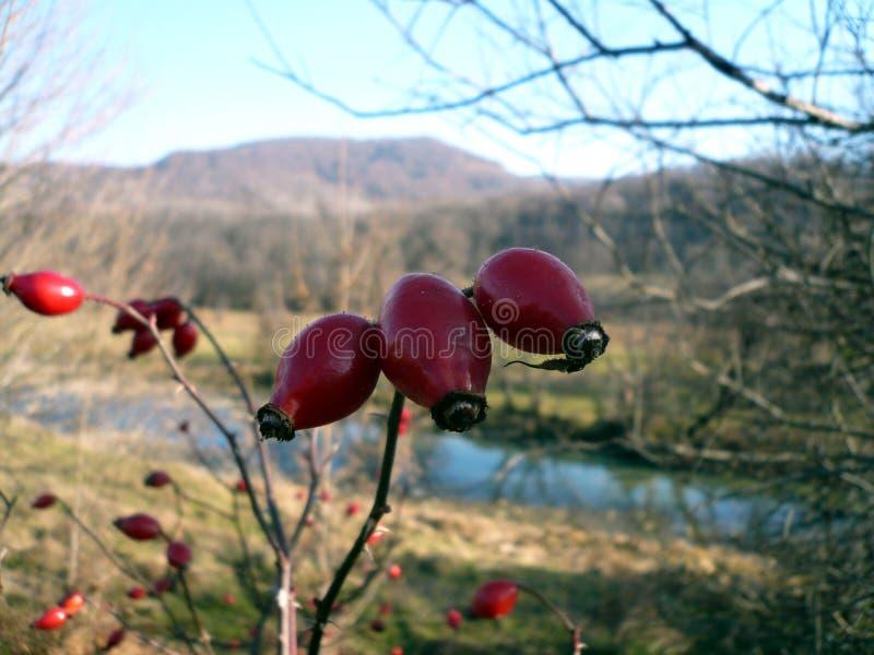 Плод шиповника стоковое изображение
