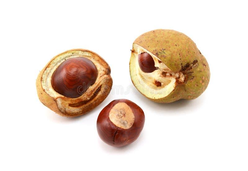Плоды конского каштана и открытые случаи семени от красного конского каштана стоковые изображения rf