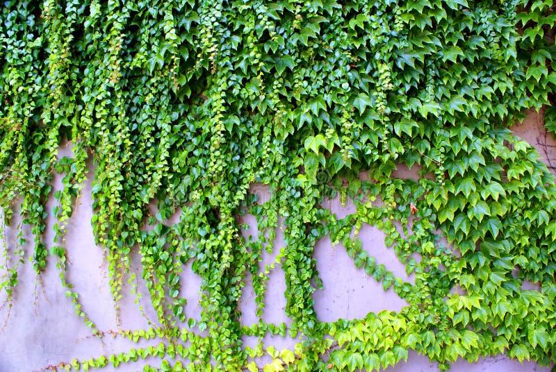 Плющ - взбираться всегда зеленые растения на стене стоковые изображения