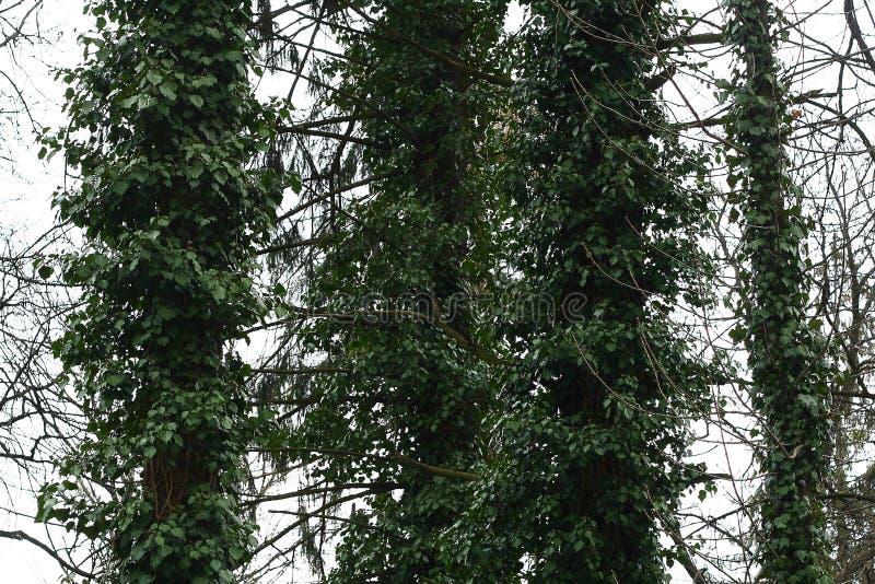 Плющ ограничивает дерево стоковые изображения rf