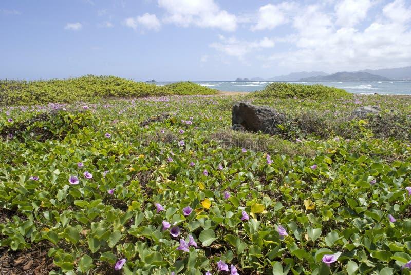 Пляж Гаваи с фиолетовыми цветками Pohuehue стоковое изображение rf