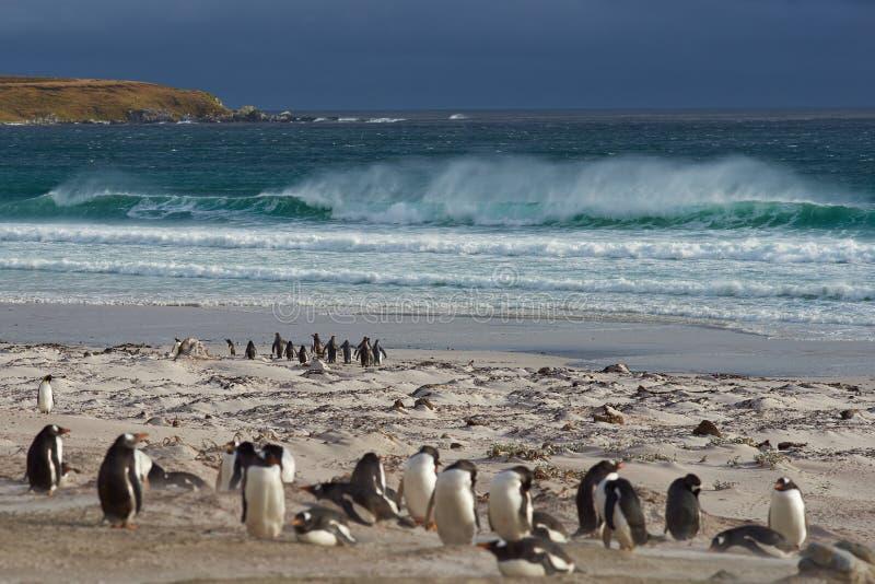 Пляж пингвина - Фолклендские острова стоковое фото rf