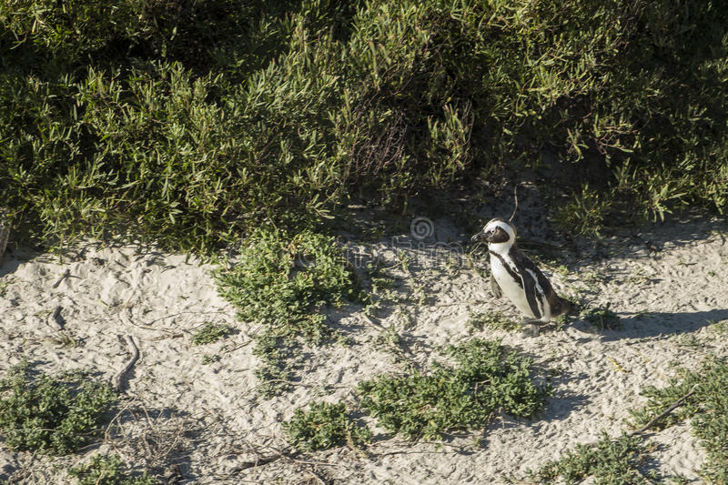 Пляж пингвинов в Кейптауне стоковое изображение