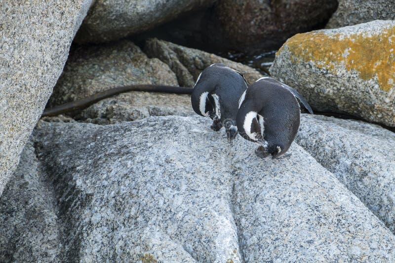 Пляж пингвинов в Кейптауне стоковые фотографии rf