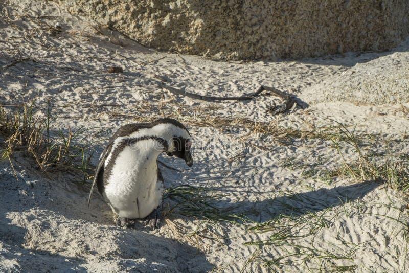 Пляж пингвинов в Кейптауне стоковые изображения