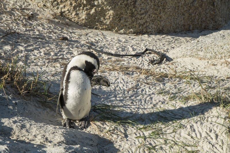 Пляж пингвинов в Кейптауне стоковая фотография rf