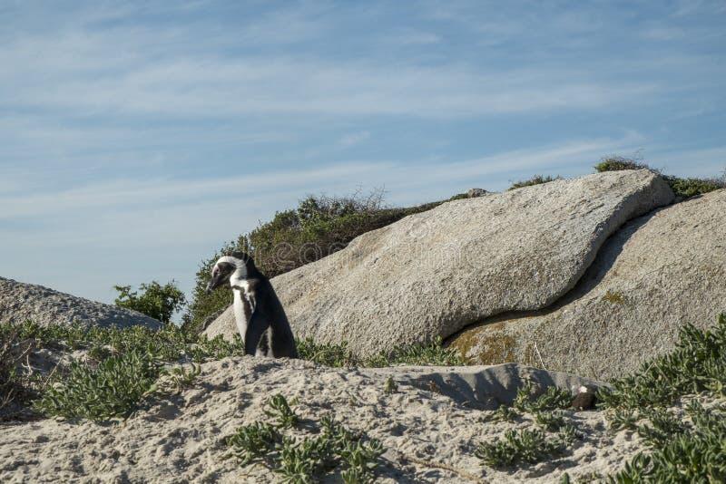Пляж пингвинов в Кейптауне стоковые фото