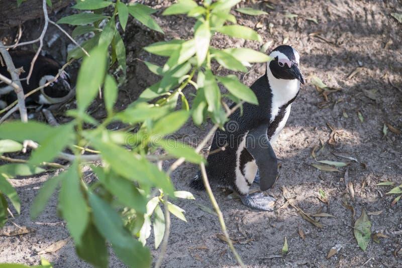 Пляж пингвинов в Кейптауне стоковые изображения rf