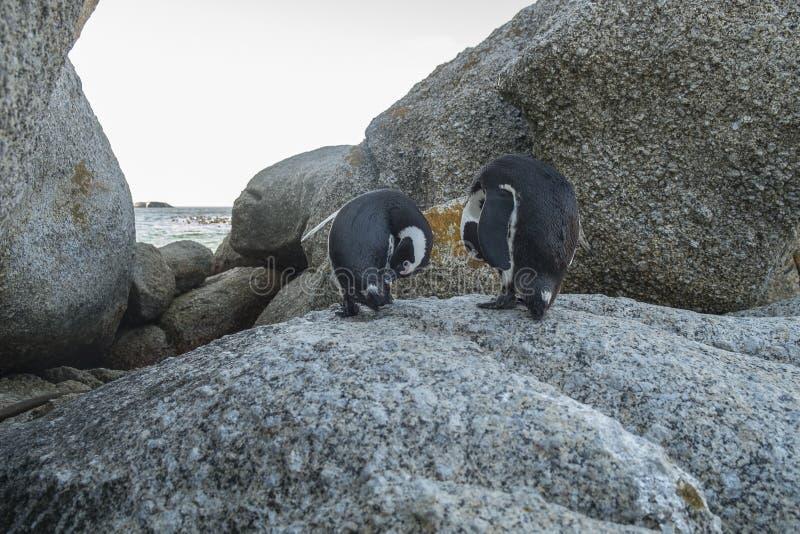 Пляж пингвинов в Кейптауне стоковое фото