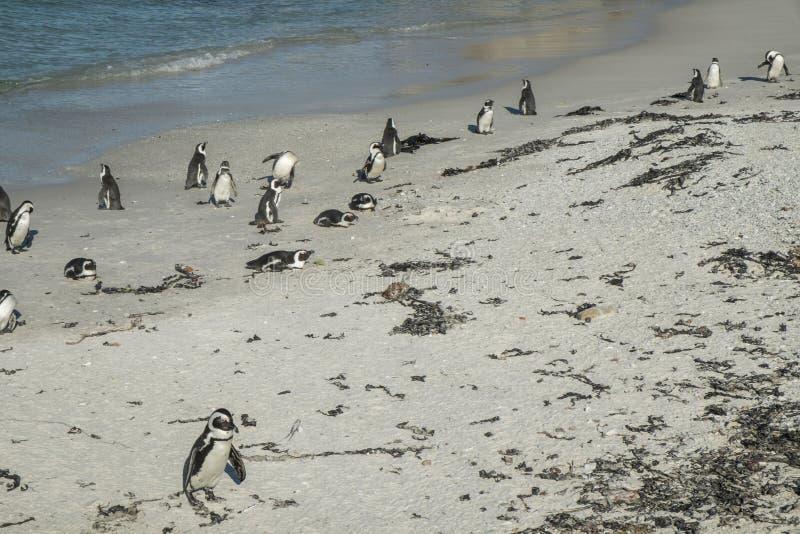 Пляж пингвинов в Кейптауне стоковое фото rf