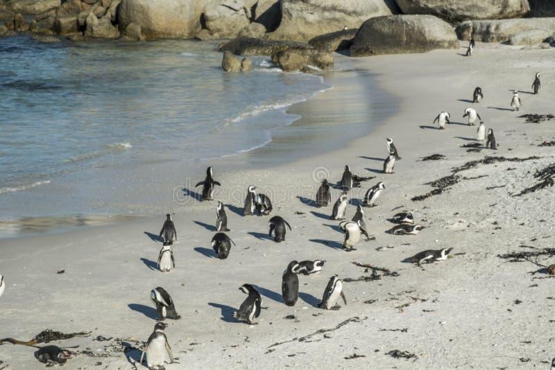 Пляж пингвинов в Кейптауне стоковое изображение rf