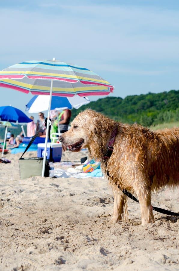 Пляж собаки в Мичигане стоковые фотографии rf