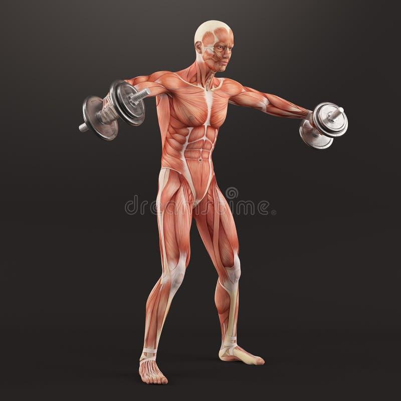 Работать спортзала культуризма Гантели размножения пока стоящ Чередуя дельтовидное повышение Группа мышцы плеча бесплатная иллюстрация